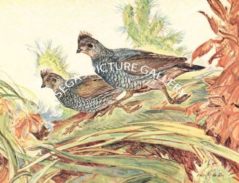 Fine Art Print of the Scaled Quail by Charles Defeo (1891-1978)